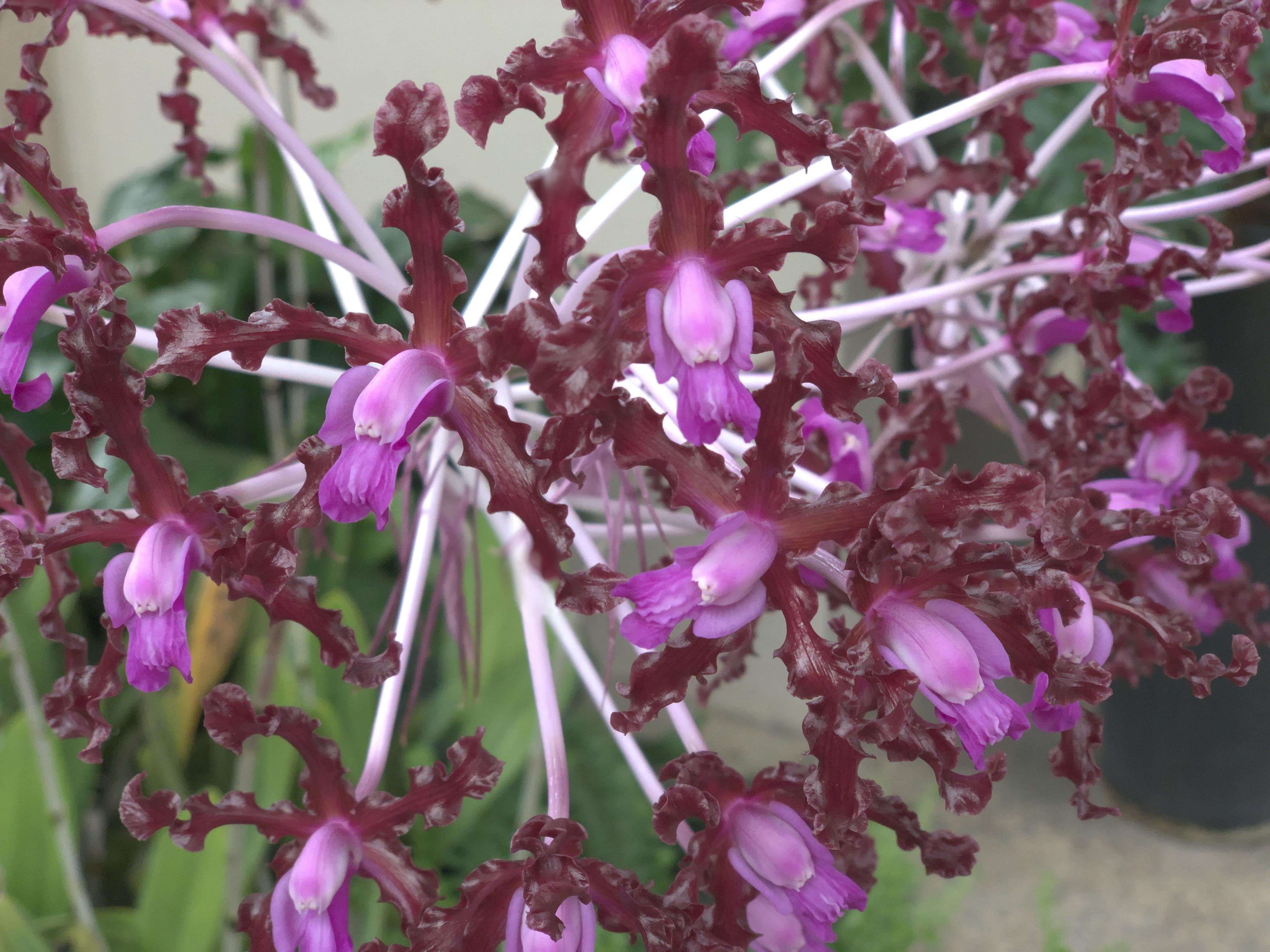 Macro shot of pinkish purple orchids