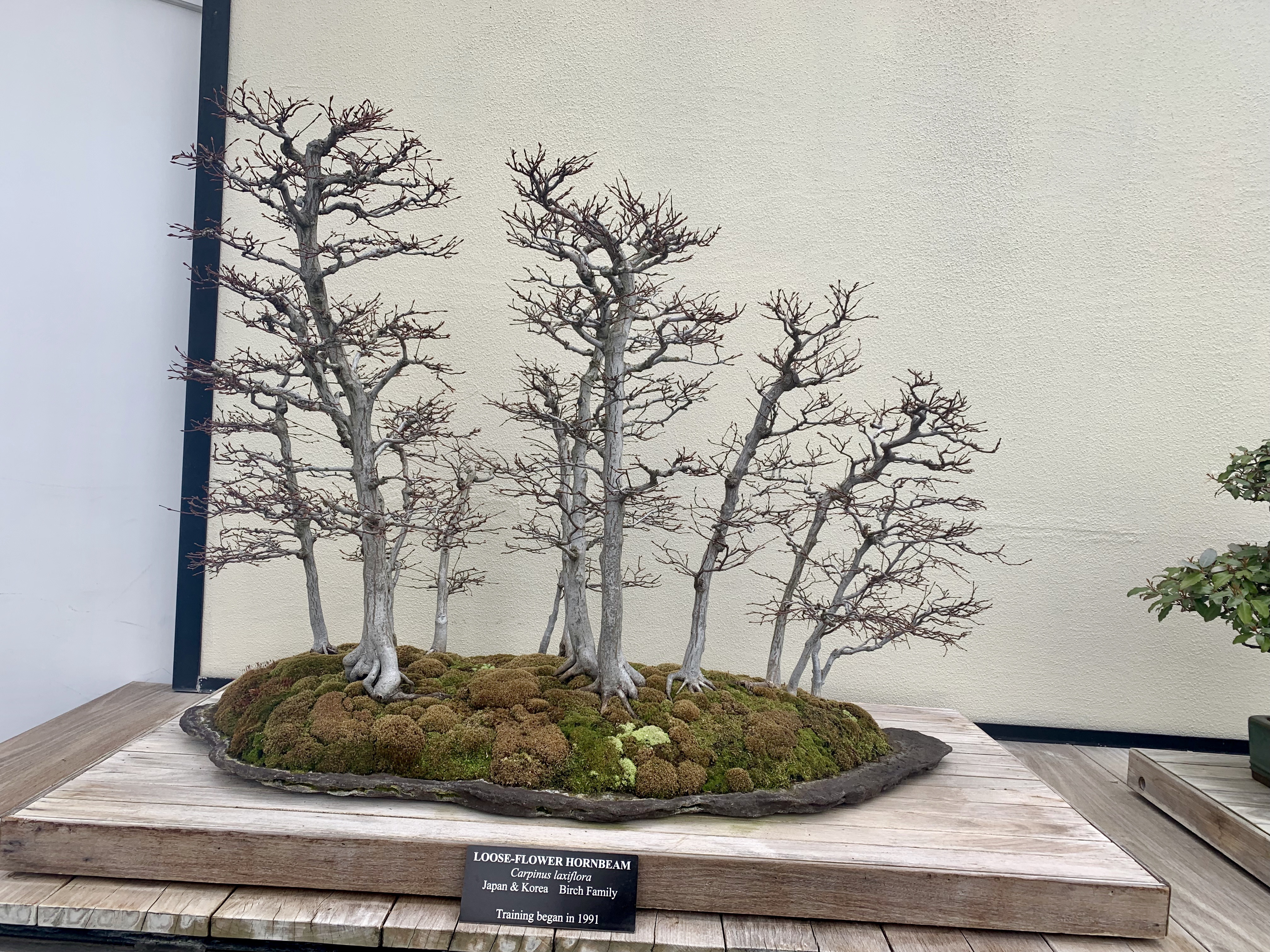 Collection of birches in the same bonsai pot, arranged like a copse in the woods.